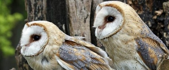 Photo of two barn owls